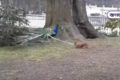 Little squirrel pulling a peacock's feather, funny video of two wild animals on viral social media