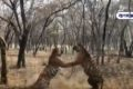 Thrilling scene: Video of two tigers fighting in the jungle goes viral on Netdunia