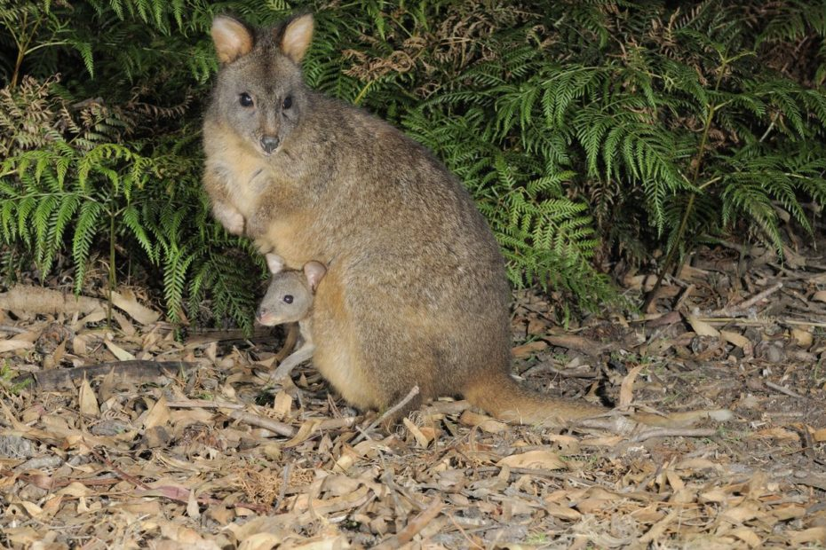 A pademelon among some foliage with a joey poking out of its pouch.